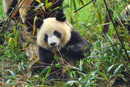 Stickers pour porte Panda Hungry giant panda bear eating bamboo