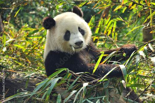 Hungry giant panda bear eating bamboo Wallpaper Mural