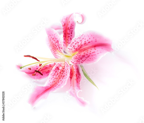 Fotografija Stargazer lily isolated