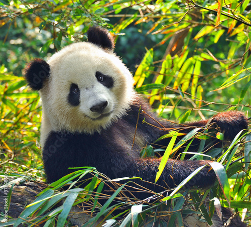 Fototapeta Hungry giant panda bear eating bamboo