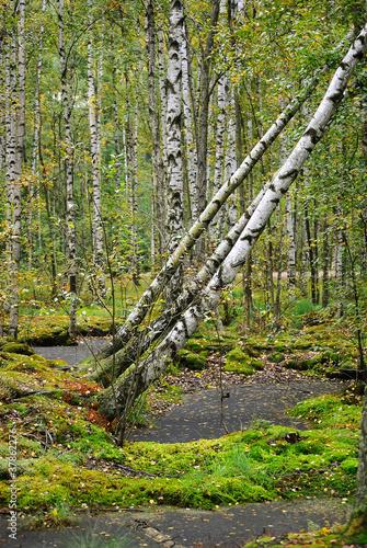 Deurstickers Berkbosje Trees in the swamp