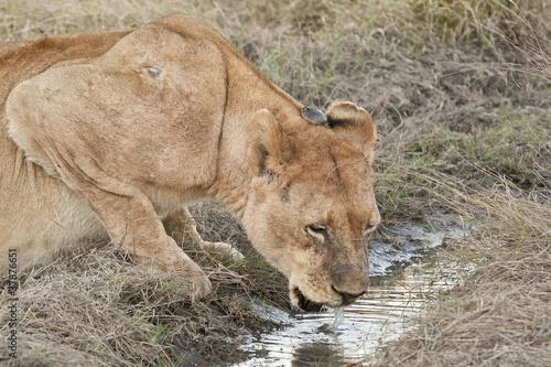 Fotografie, Obraz  Lioness drinks and breaks water inertia