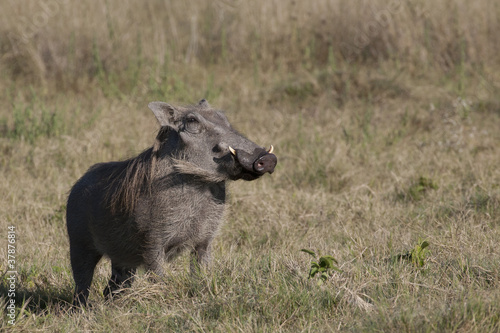 Photo  The real Pumbaa (Warthog)