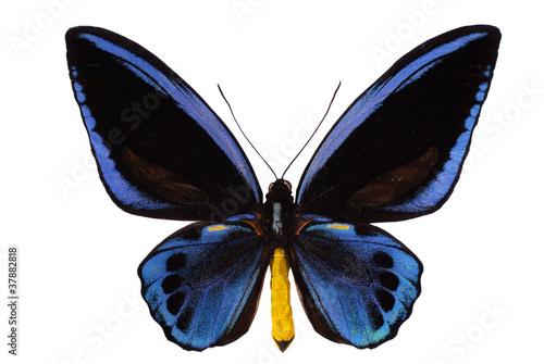 Photo sur Toile Papillons dans Grunge Birdwing swallowtail, Ornithoptera urvillianus