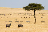 Fototapeta Sawanna - Plains zebras (Equus quagga) and Gnus in Masai Mara, Kenya