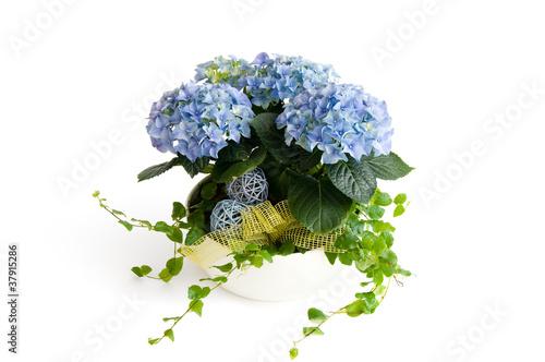 Blaue Hortensie In Einer Blumenschale Buy This Stock Photo And