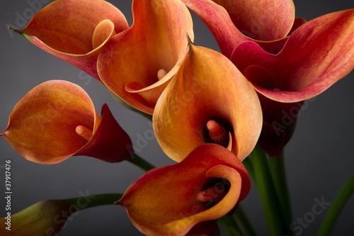 Fotografie, Obraz  Orange Calla lilies(Zantedeschia) over black