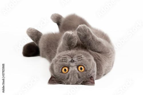 Foto op Aluminium Kat blue british female cat on white background