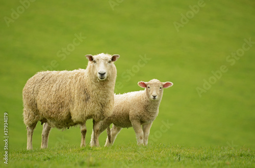 Sheep and Lamb on green grass