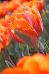 Panel Szklany Tulipany Orange tulips