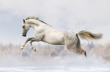 Fototapeta Animals - silver-white stallion