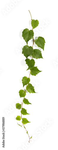 Stampa su Tela Twig of a climbing plant