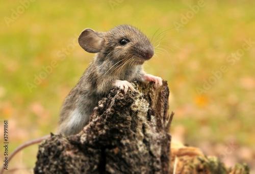 mysz-lesna