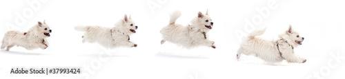 Fotografie, Obraz  a running dog on white background