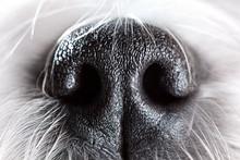 Dog Nose Close-up