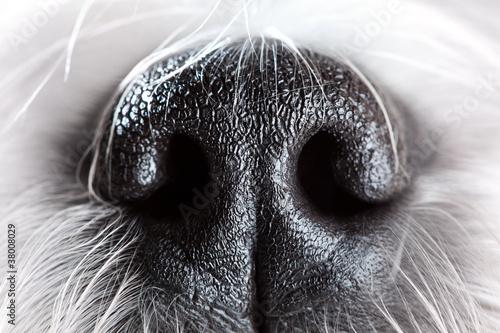 Fototapeta Dog nose close-up obraz