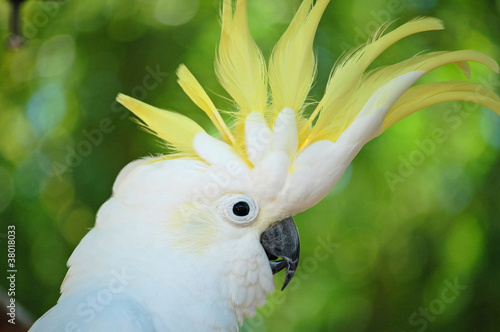 yellow crested cockatoo #38018033