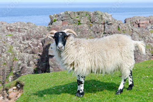 Fotografija  Scottish blackface sheep, Scotland