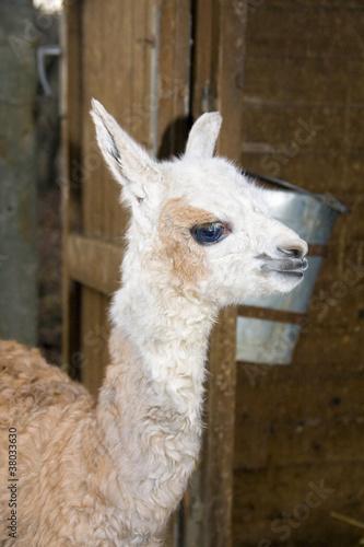 Staande foto Lama A llama (Lama glama) some minutes after birth