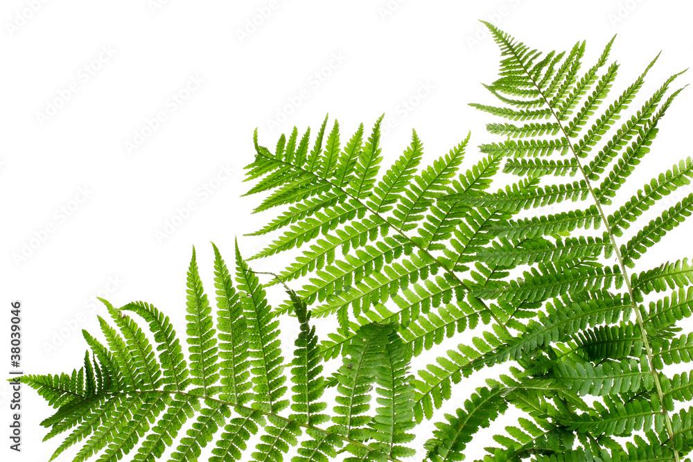 Fototapeta Three green leaves of fern isolated on white