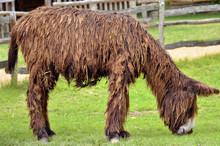 Poitevin Donkey View Of Profile Grazing In Field
