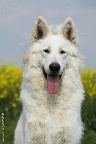 Fotografía  portrait du beau berger blanc suisse