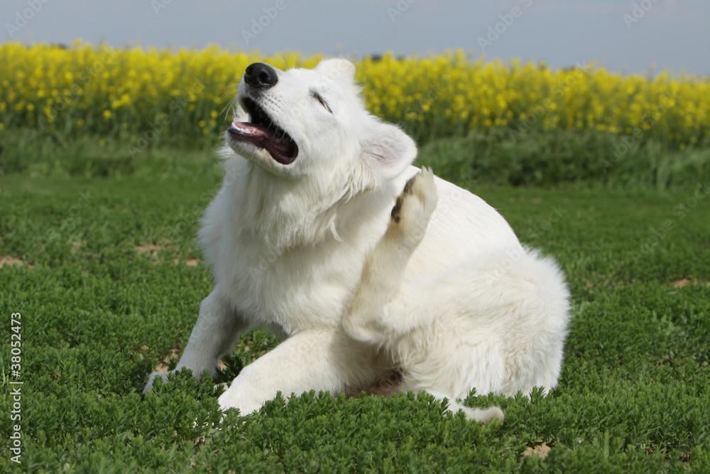 Fotografía  chien qui se gratte - puce, tique,parasites
