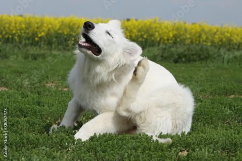 Foto  Hund kratzen - Chip, Zecke, Parasiten