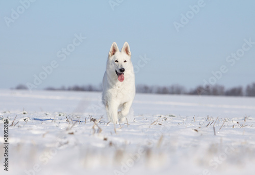 Pinturas sobre lienzo  white swiss shepherd dog running on the snow