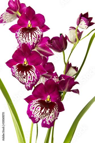 Fototapeta orchidea   rozowa-orchidea