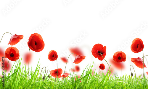 Poster Poppy Poppy flowers in grass, isolated on white background