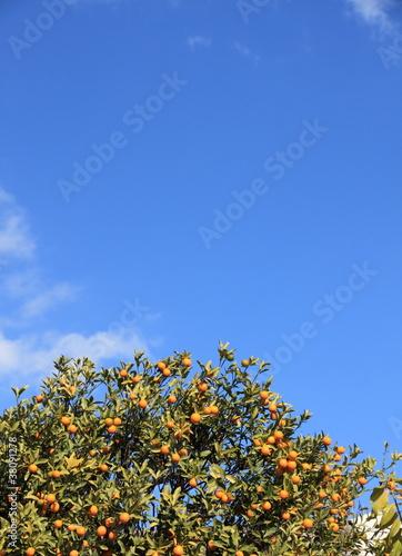 Papiers peints Narcisse ハッサクの木と青空
