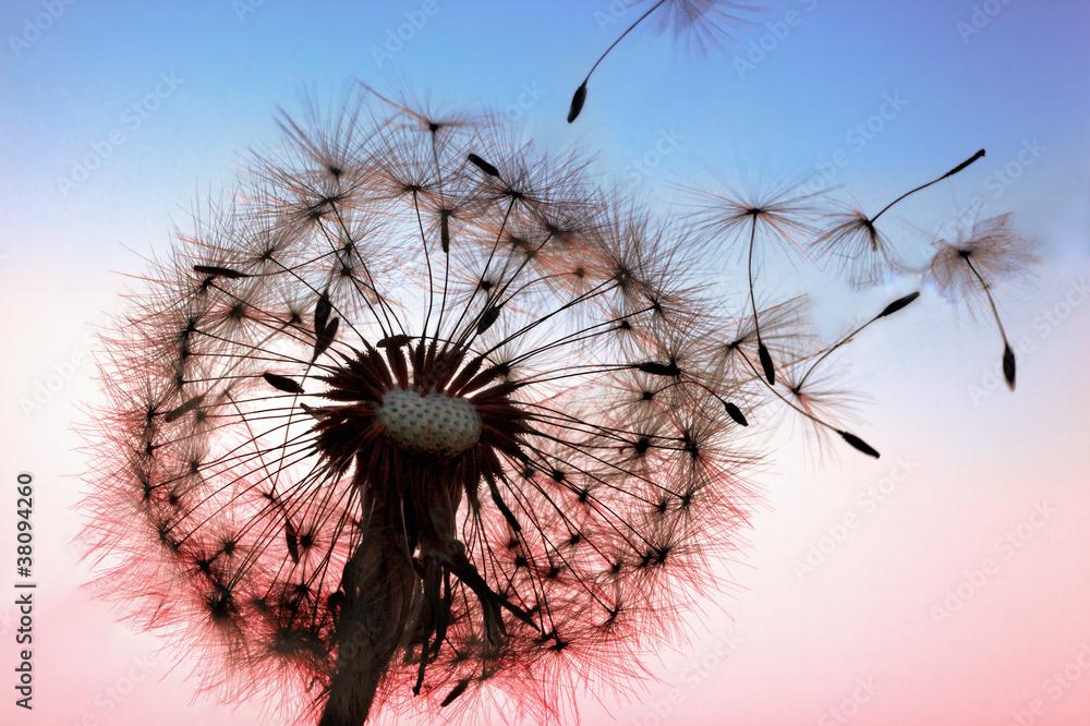 Fototapety, obrazy: Dandelion