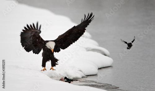 Poster Aigle Bald Eagle landed