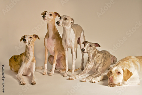 Canvas-taulu Fünf Hunde im Studio