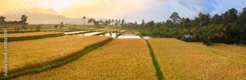 Photo Stands Rice fields Paddy rice panorama