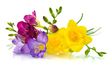 Yellow And Violet Fresia On Wh...
