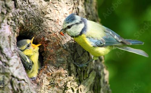 Foto The Blue Tit (Cyanistes caeruleus).