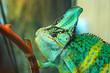 Portrait of green funny chameleon in terrarium