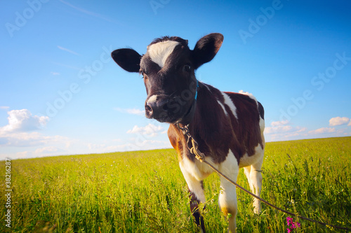 Photo Stands Cow Calf