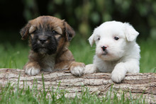 Lovely Puppy Dogs