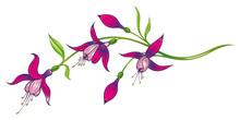 Fuchsie, Fuchsien, Blumen, Blüten, Ranke, Sommer