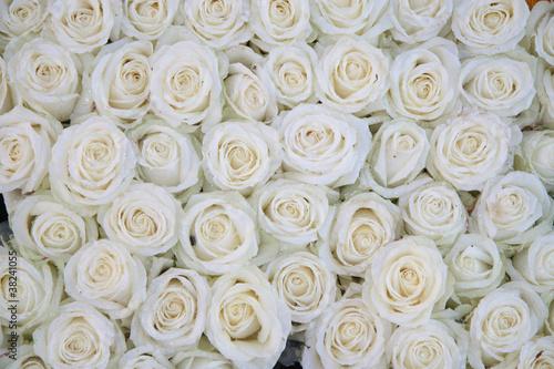 grupa białych róż po deszczu
