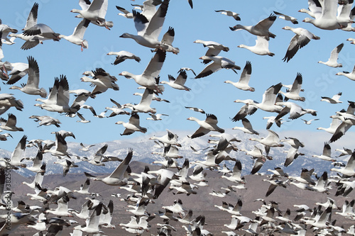 Aufkleber - Snow Geese And Snow-covered Mountains