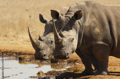 Photo sur Toile Rhino Rhino Twins