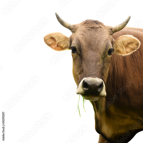 Fotobehang Koe cow isolated