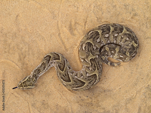 Photo A poisonous puff adder (Bitis arietans) snake