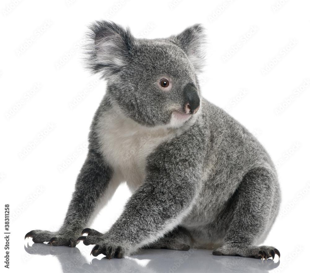 Young koala, Phascolarctos cinereus, 14 months old