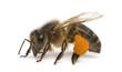 Leinwandbild Motiv Western honey be, Apis mellifera, carrying pollen