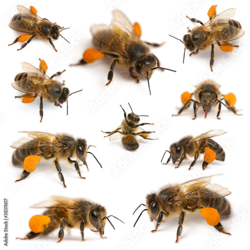 Composition of Western honey bees or European honey bees